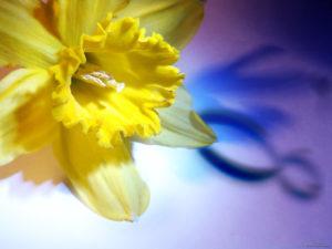 Narcissus journée de la femme